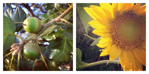 acorns and sunflowers