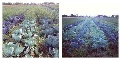 cabbage liberation