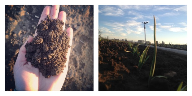 soil and garlic