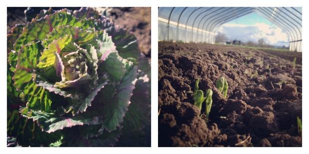 spring crops