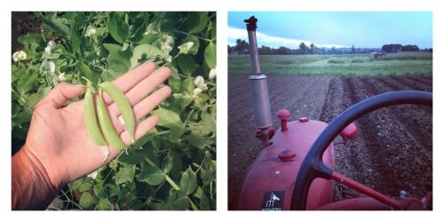 peas and tractor