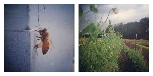 bees and peas