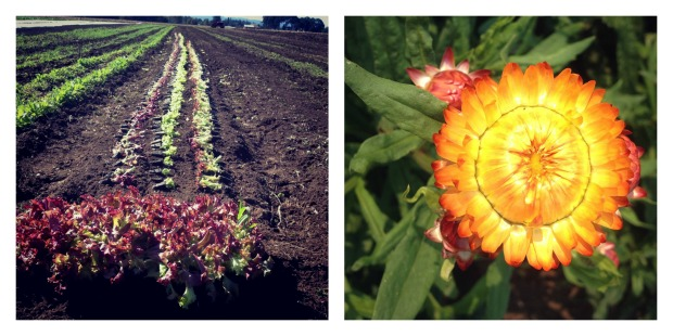 lettuce and strawflower